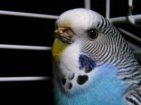 Kaalulangus papagoid Poletage rasva palju
