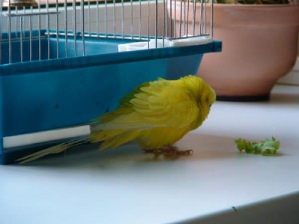 Kaalulangus papagoid Musli kasu kaalulangus