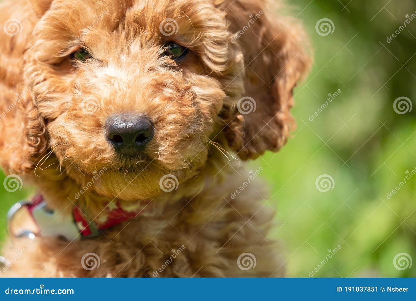 Mini Poodle kaalulangus