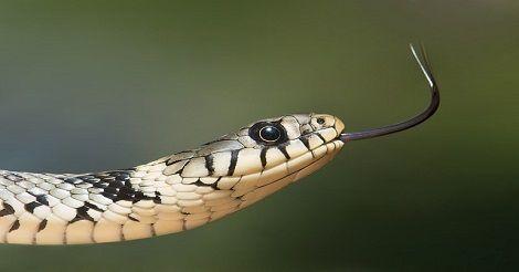 Snake kaalulangus Kuidas eemaldada poletatud rasva pannilt