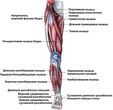 Suured jala lihased poletavad rasva