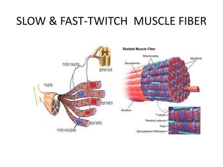 Kaalulangus ravib rasva maksa Steroid nagu rasva kadu
