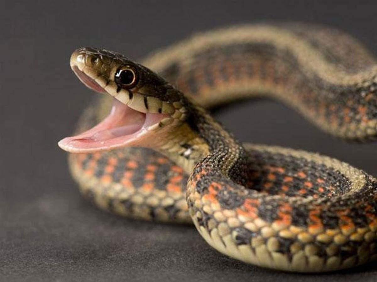 Snake kaalulangus Fat Burner 100